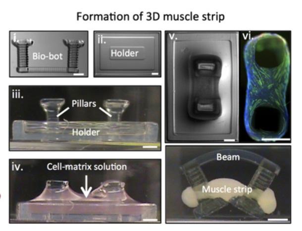 3Dプリンターで人工筋肉