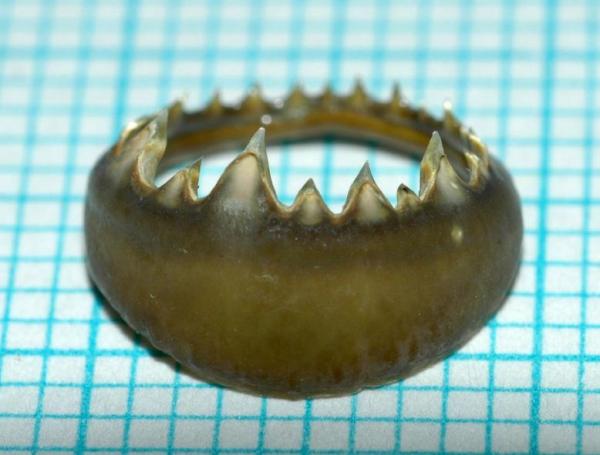 イカの歯を利用した新しいフィラメントの研究開発