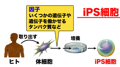ips細胞とは